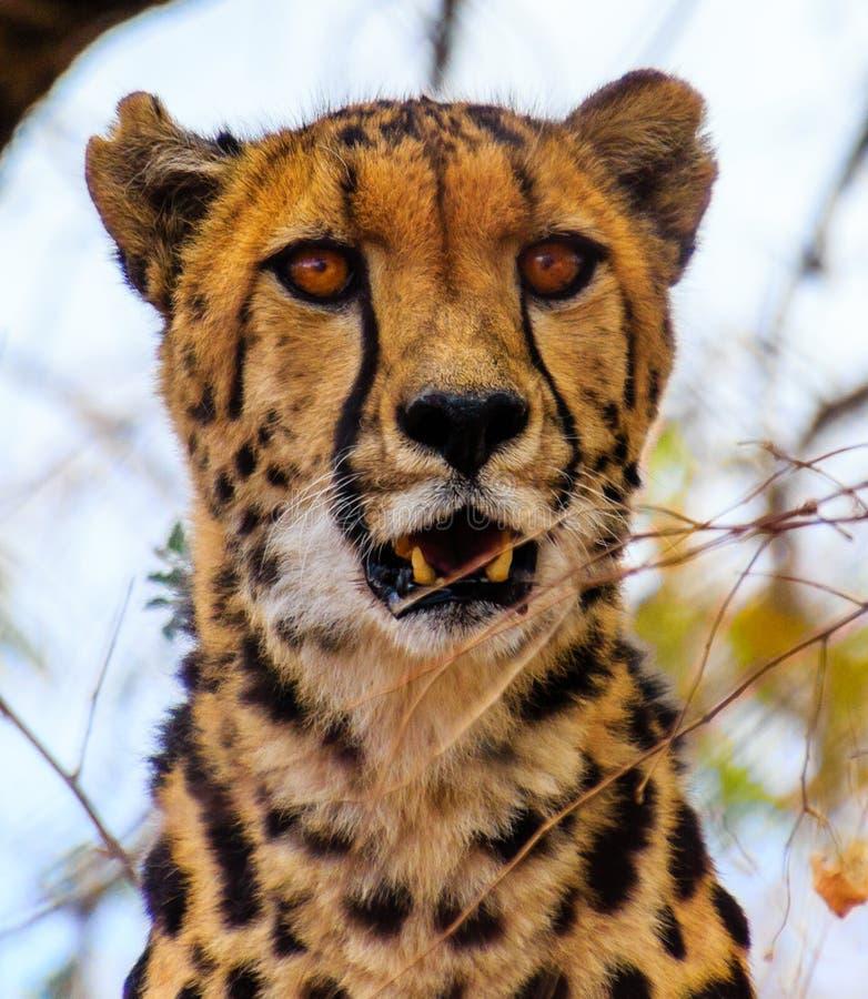 O rei Cheetah imagem de stock