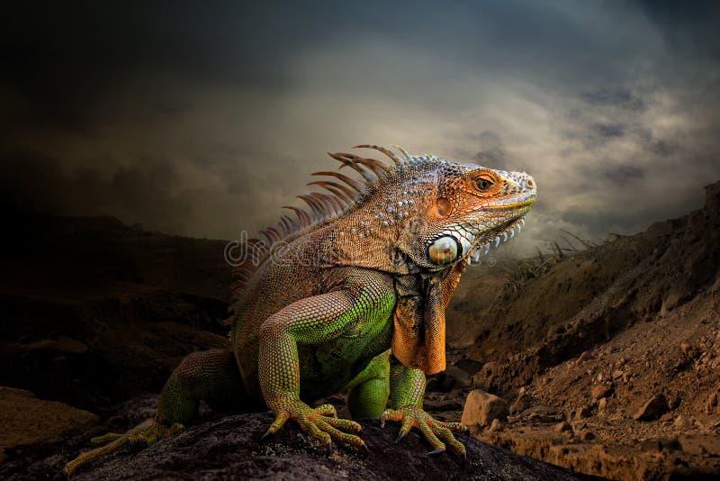 O rei da iguana na terra fotos de stock