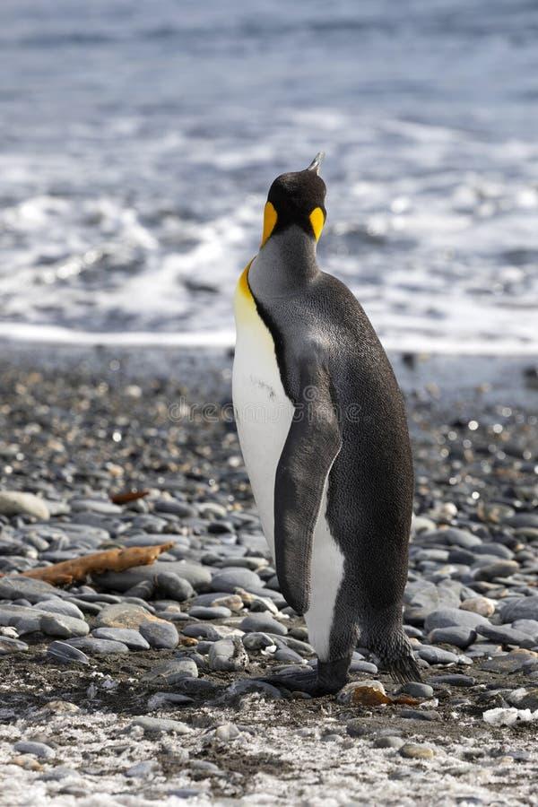 O rei Penguin olha para fora ao mar na planície de Salisbúria em Geórgia sul fotos de stock