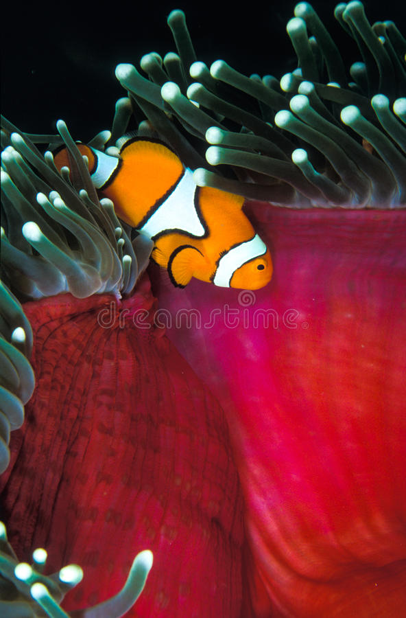 O relacionamento simbiótico entre um peixe do palhaço e uma anêmona fotos de stock