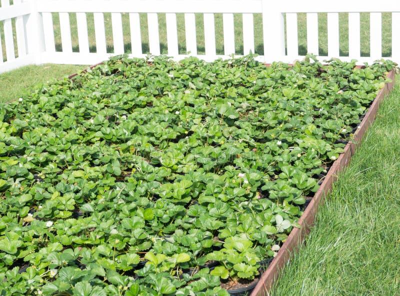 O remendo orgânico da morango do verde da exploração agrícola no jardim do quintal com cerca branca fotos de stock royalty free