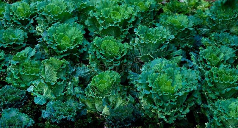 O repolho verde foto de stock