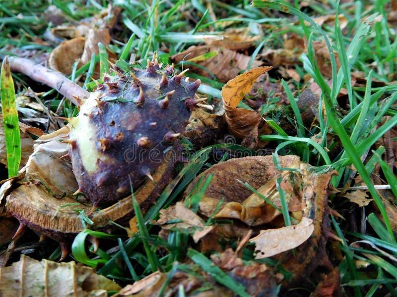 O resíduo da castanha na grama com folhas foto de stock royalty free