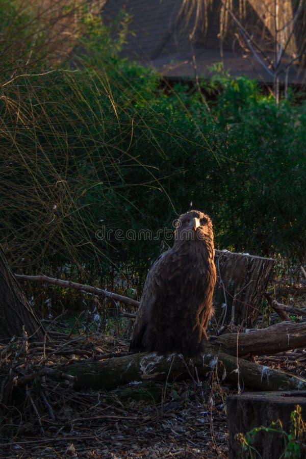 O resto da águia em um ramo caído foto de stock royalty free