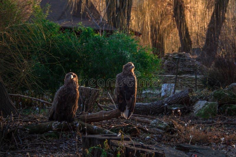 O resto das águias em um ramo caído imagens de stock royalty free