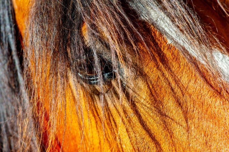 O retrato agradável de uma cabeça de cavalo da baía iluminou-se por uma luz bonita fotografia de stock