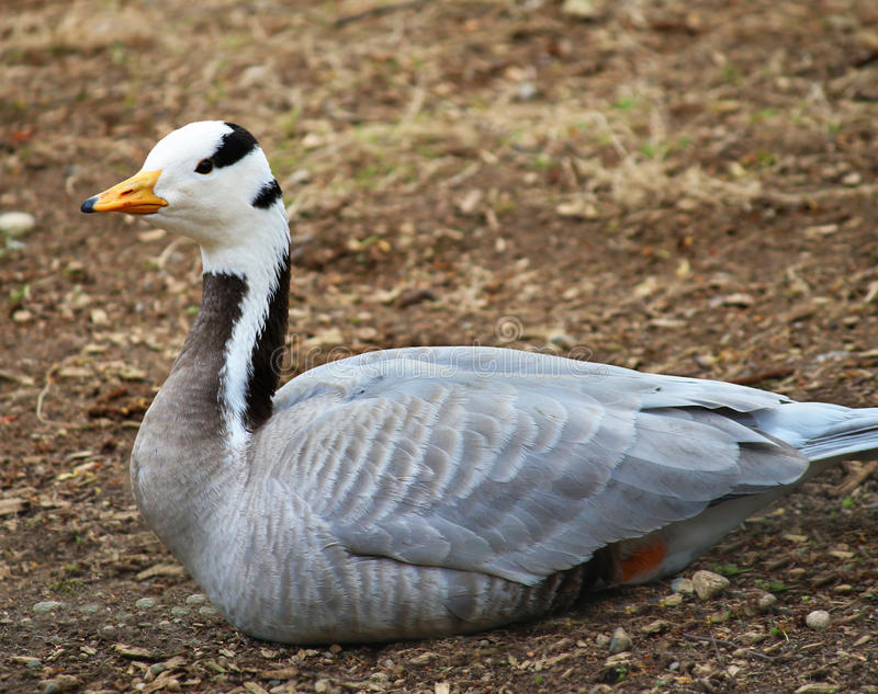 O retrato barra-dirigiu gansos do ganso fotos de stock