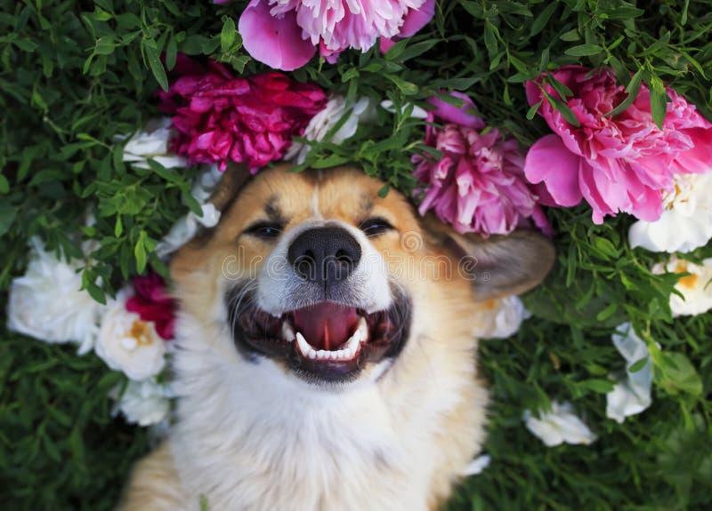 O retrato bonito de um corgi bonito do cão de cachorrinho encontra-se em um prado verde natural cercado pela grama luxúria e pela fotos de stock