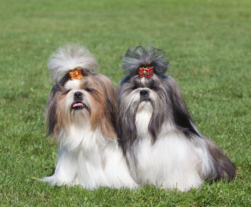 O retrato de dois cães produz Shih Tzu foto de stock royalty free