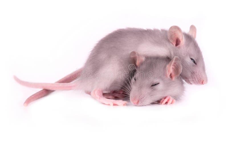 O retrato de dois cansou os ratos que dormem no branco fotografia de stock royalty free