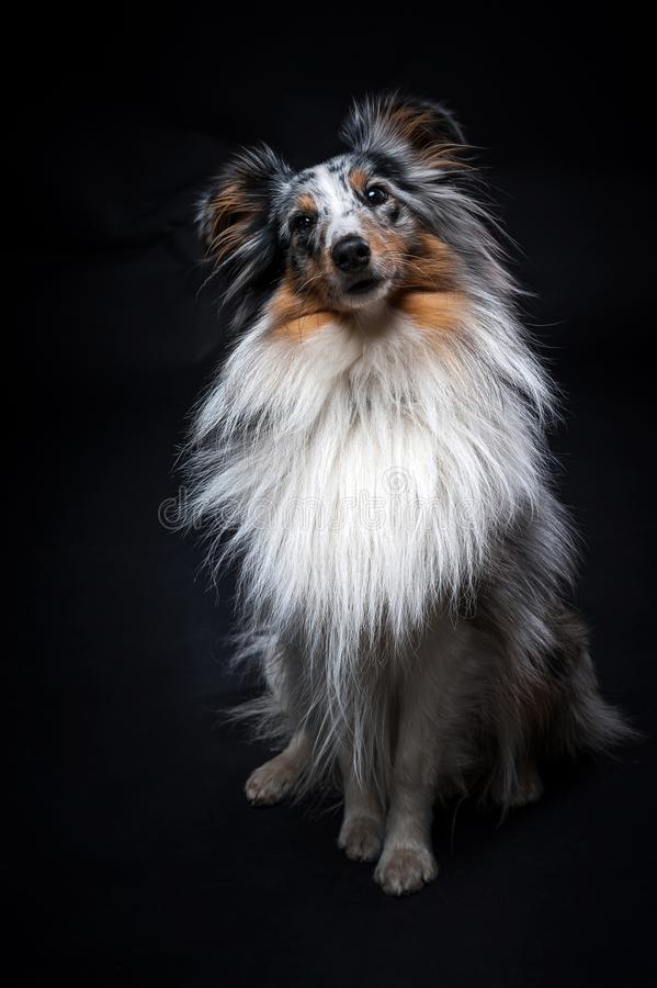 O retrato de Sheltie isolou-se no fundo preto imagem de stock royalty free