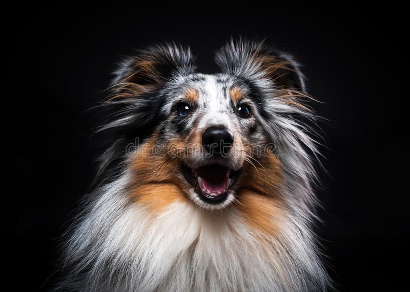O retrato de Sheltie isolou-se no fundo preto fotografia de stock royalty free
