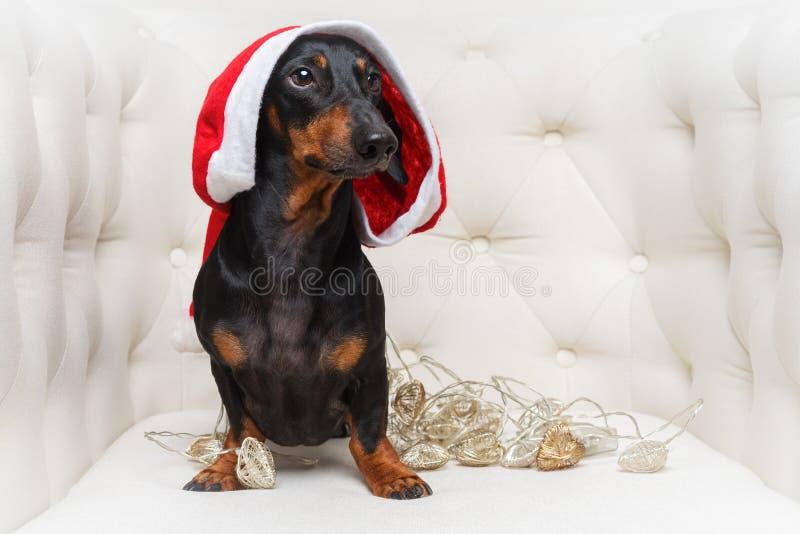O retrato de um c?o bonito do bass?, preto e bronzeado, em um chap?u e em uma fest?o vermelhos do Natal est?o em uma poltrona bra fotos de stock royalty free