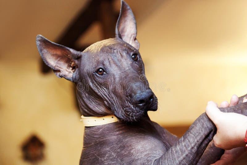 O retrato de um cão da raça Xolotizcuintle, ou da raça mexicana sem pêlos Tamanho padrão, visão frontal, cabeça próxima com bonit foto de stock royalty free
