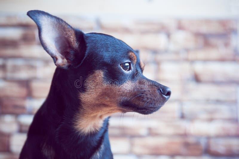 O retrato de um cão no perfil contra um fundo da parede de tijolo, o cão está esperando o proprietário na janela imagem de stock royalty free