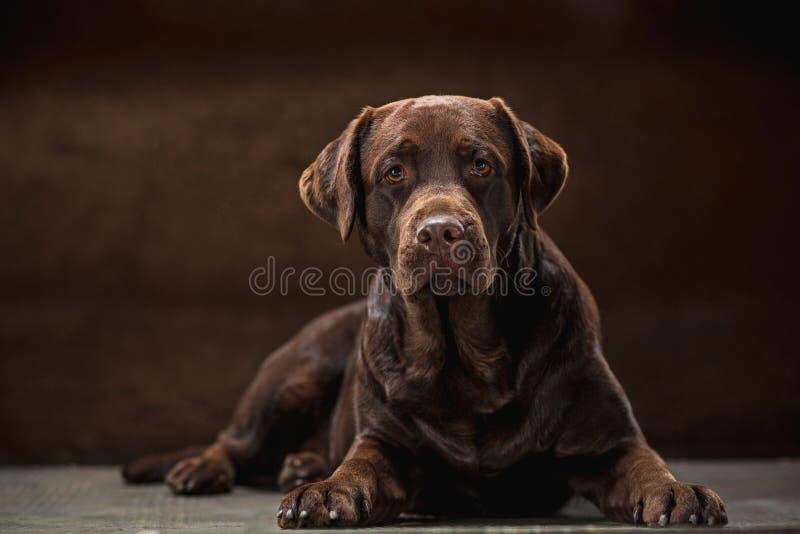 O retrato de um cão preto de Labrador tomado contra um contexto escuro imagens de stock
