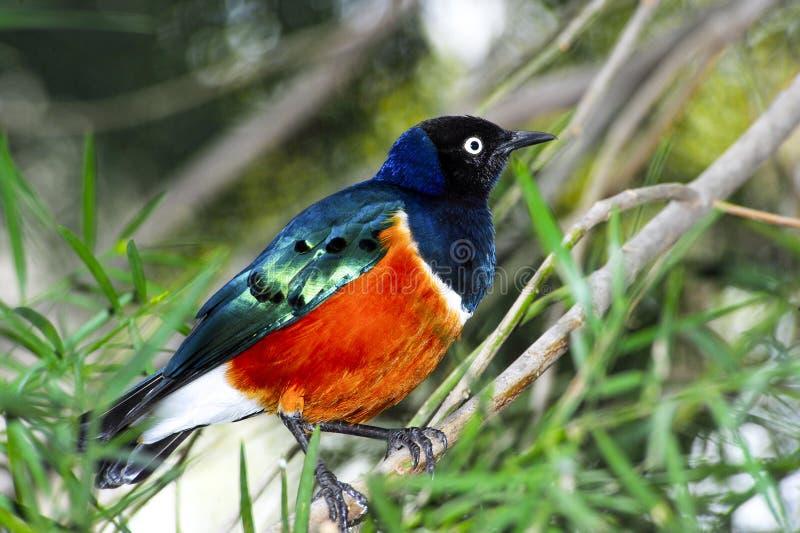 Download Starling magnífico foto de stock. Imagem de perched, verde - 29828868