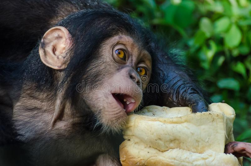 O retrato do bebê do chimpanzé que alimenta no naco de pão em montanhas de Afi fura o rancho, Nigéria imagem de stock