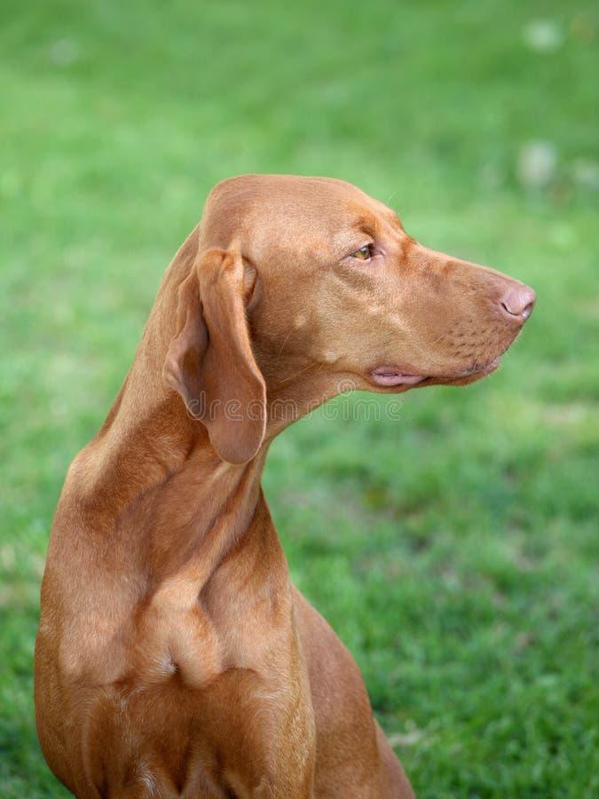 O retrato do cão apontando de cabelos curtos húngaro fotos de stock royalty free