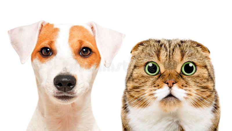 O retrato do cão bonito Jack Russell Terrier e os Scottish do gato dobram-se imagem de stock royalty free