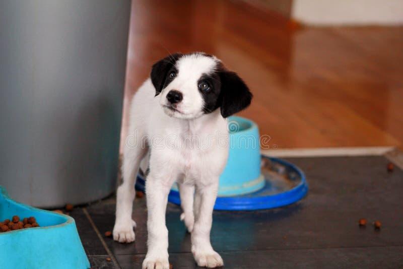 O retrato do cão fêmea do cachorrinho pequeno está levantando para a sessão fotográfica, fim acima Raça misturada pequena, cachor fotografia de stock royalty free