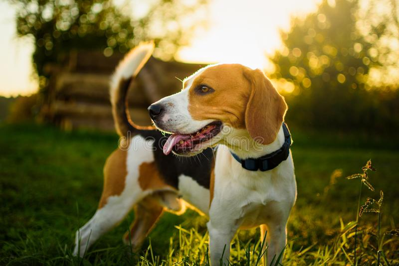 O retrato do cão para trás iluminou o fundo Lebreiro com língua para fora na grama durante o por do sol nos campos imagens de stock