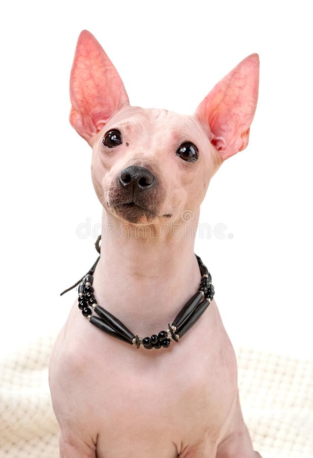 O retrato do cão Terrier americano sem cabelos fechou com o corante preto sobre fundo branco imagens de stock