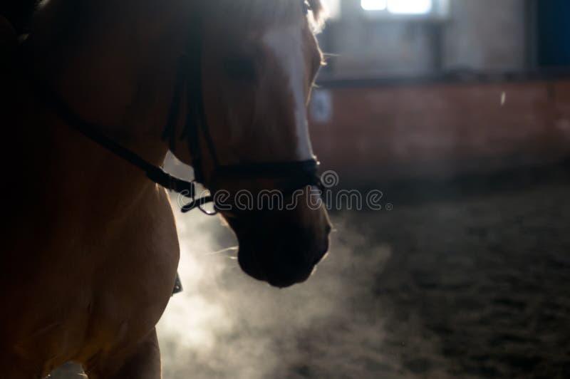 O retrato do cavalo expira no manege foto de stock