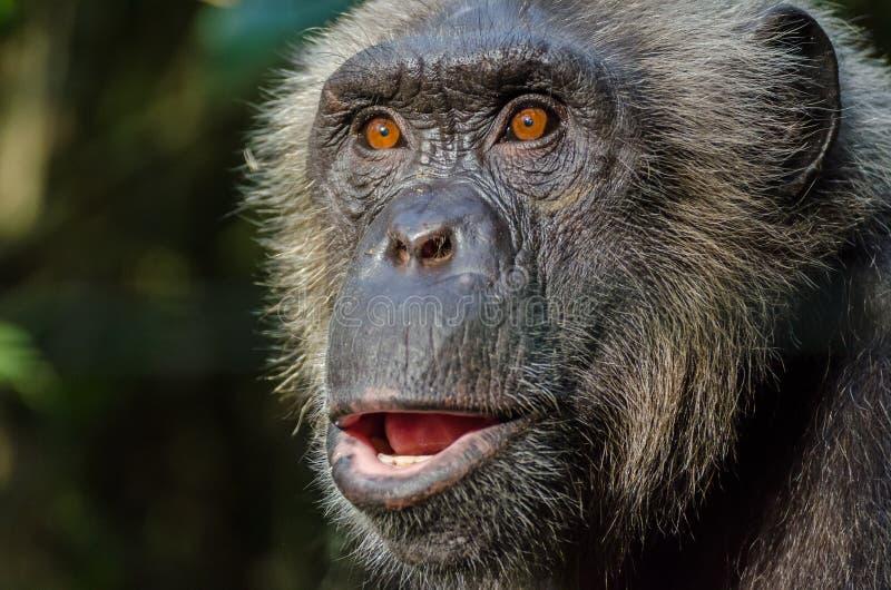 O retrato do chimpanzé de vista selvagem em montanhas de Afi fura o rancho, Nigéria imagens de stock