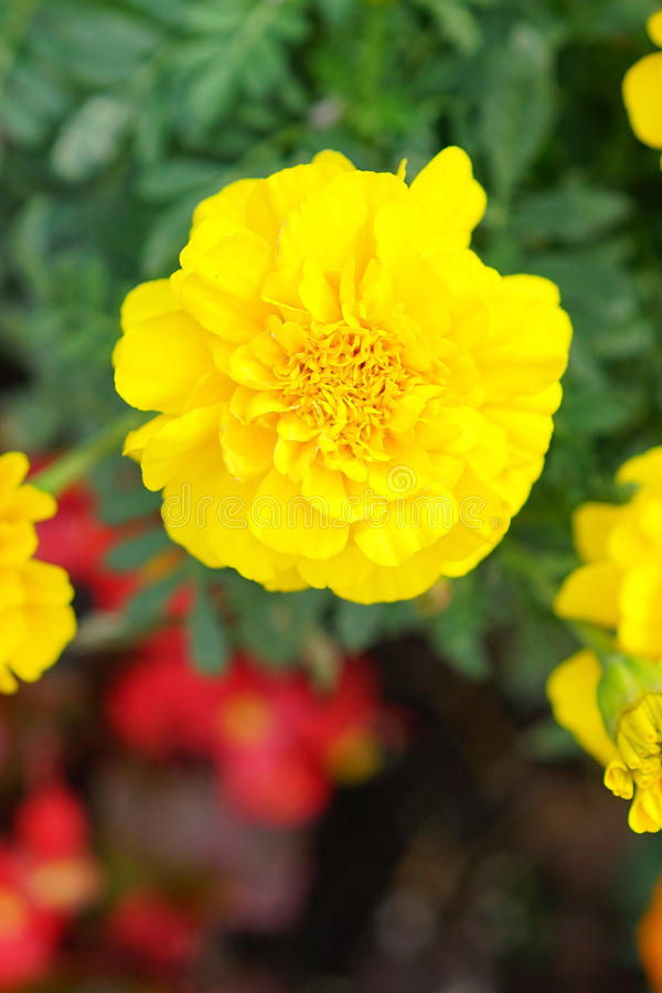 O retrato do close-up da flor amarela do cravo-de-defunto imagem de stock royalty free