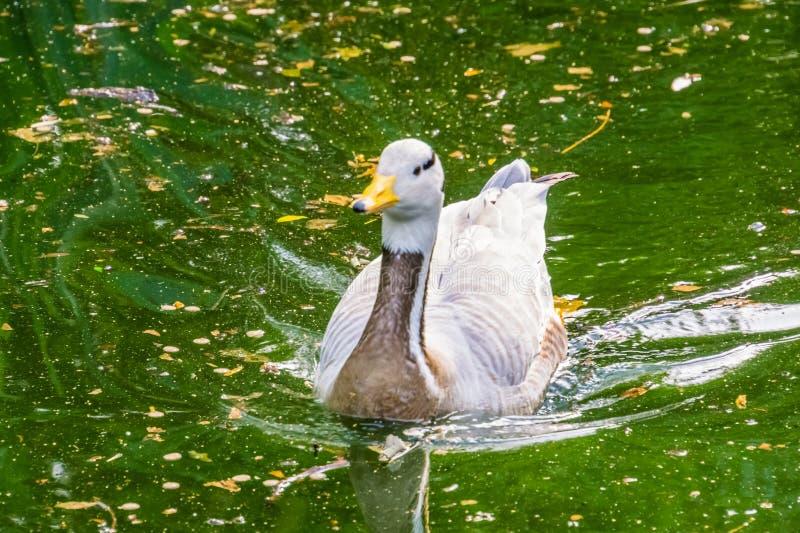 O retrato do close up de uma barra dirigiu a natação do ganso na água, no pássaro de água tropical de Ásia e na Índia fotografia de stock