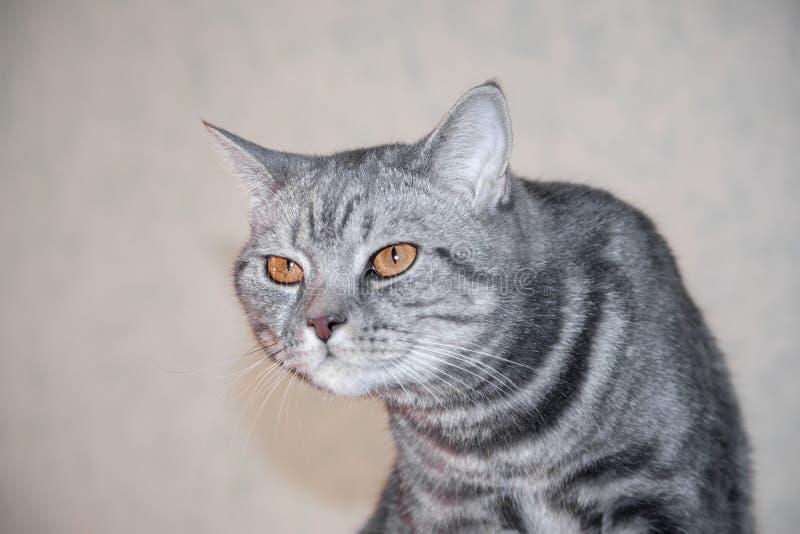 O retrato do close up do gato severo e sério irritado cinzento que olha restritamente e faz uma corcunda fotos de stock