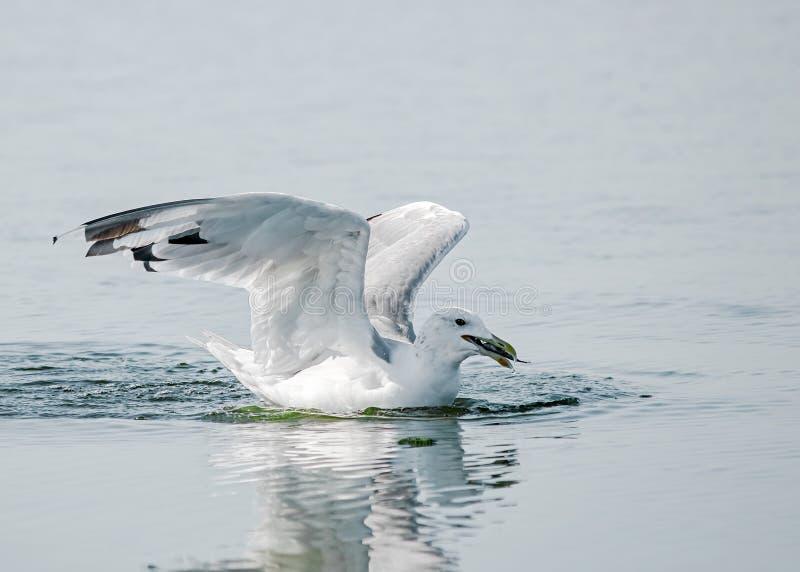 O retrato do close-up do pássaro branco e cinzento grande da gaivota travou um peixe na água em um dia de verão ensolarado imagens de stock