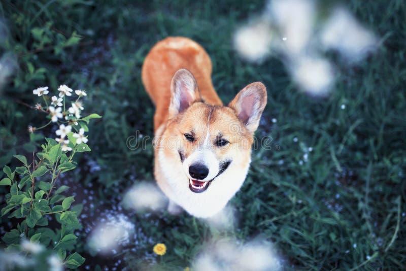O retrato do Corgi vermelho do cão do cachorrinho bonito engraçado colou para fora a língua cor-de-rosa e examina acima o fundo n fotografia de stock royalty free