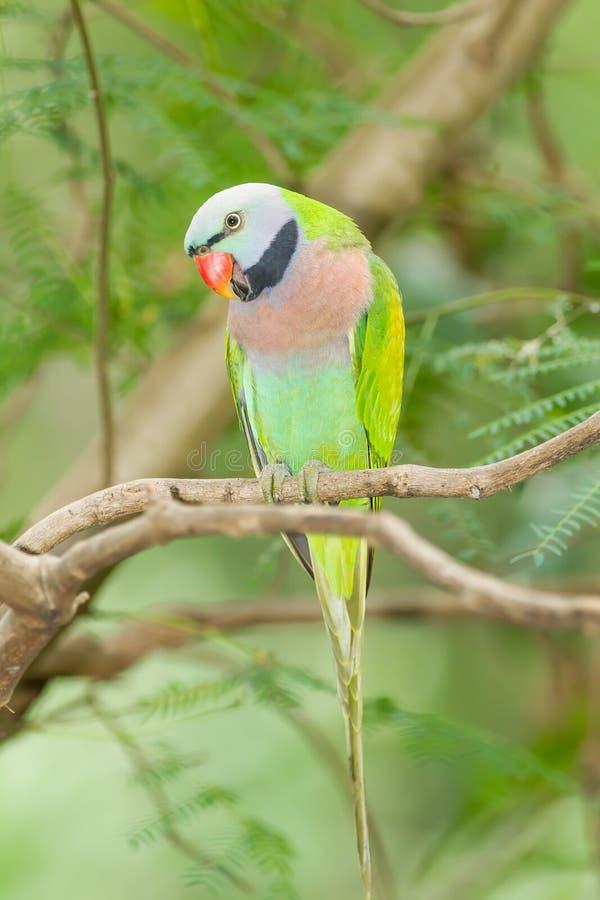 O retrato do parakeet de peito encarnado imagem de stock