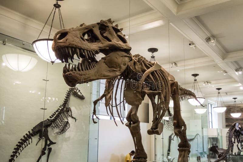 O rex de esqueleto da armadura t do dinossauro desossa os dentes enormes do carnívoro fotografia de stock