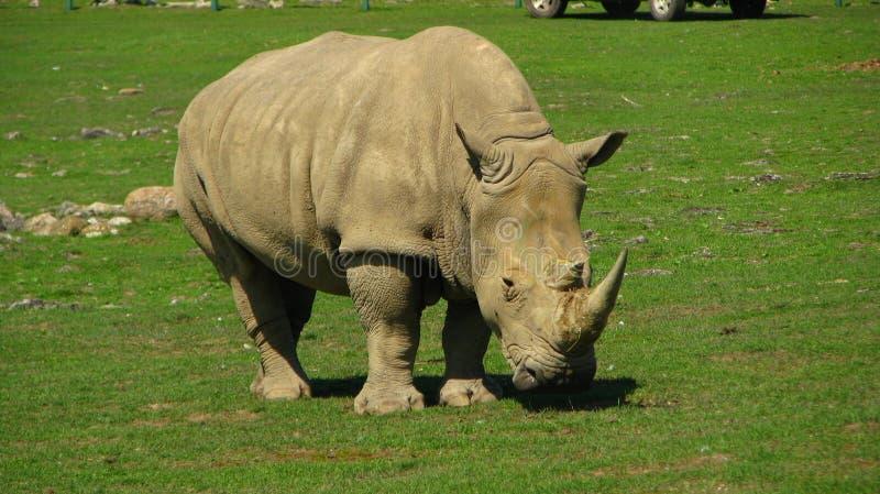 O rinoceronte africano olha como um dinossauro fotos de stock
