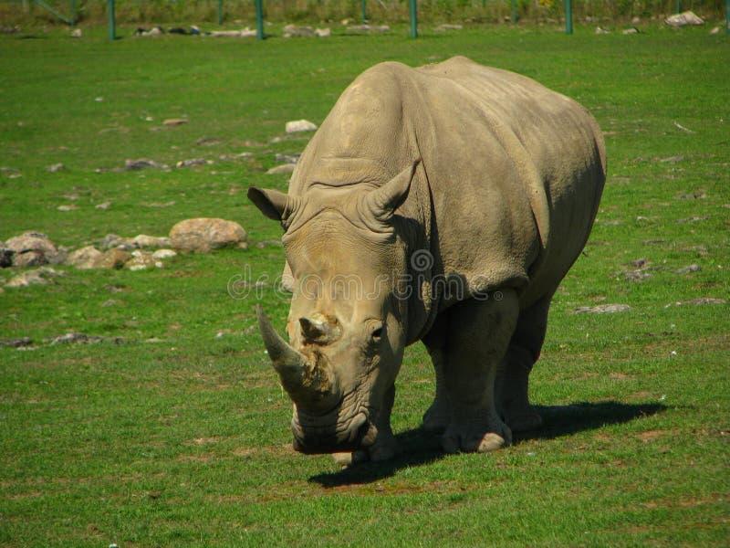 O rinoceronte africano olha como um dinossauro imagens de stock