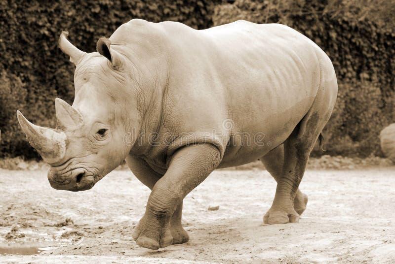 O rinoceronte branco fotografia de stock royalty free