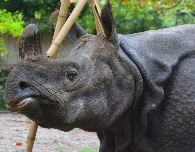 O rinoceronte indiano foto de stock