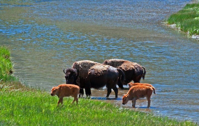 O rio do cruzamento de Bison Buffalo Cows com bebê paire no parque nacional de Yellowstone fotografia de stock