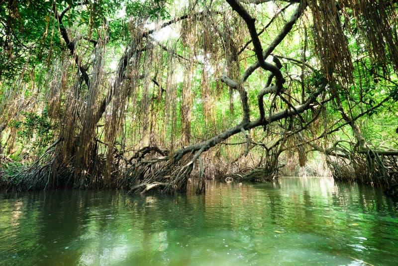O rio e a floresta tropical tropicais dos manguezais iluminaram-se pelo sol fotos de stock