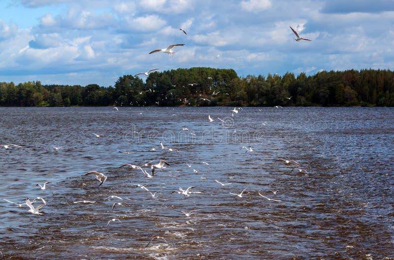 O rio gulls o voo sobre a água fotos de stock royalty free