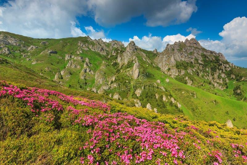 O rododendro cor-de-rosa bonito floresce nas montanhas, Ciucas, Carpathians, Romênia fotografia de stock