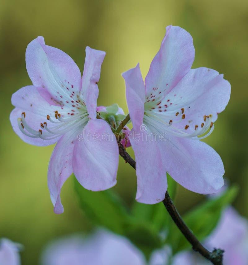 O rododendro roxo bonito floresce o fundo fotografia de stock