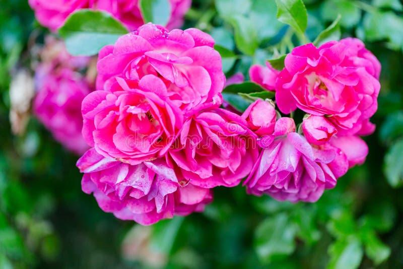 O romance aumentou no jardim imagem de stock royalty free