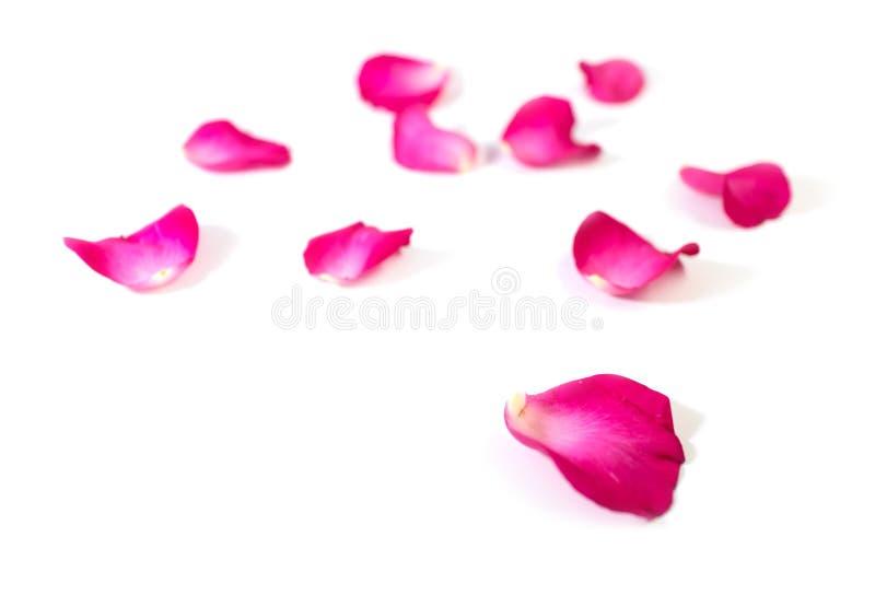 O rosa aumentou as pétalas isoladas no fundo branco para o dia ou o evento romântico de Valentim fotos de stock royalty free