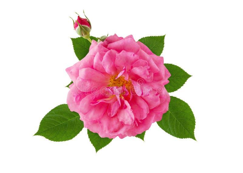 O rosa aumentou cabeça de flor com as folhas verdes isoladas no fundo branco foto de stock