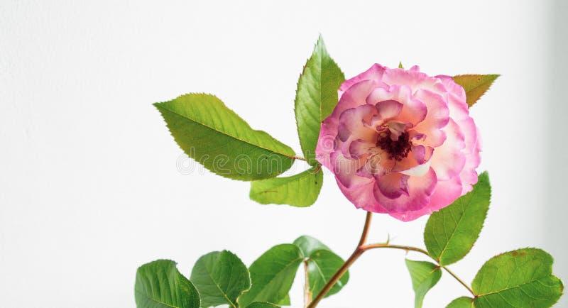 O rosa aumentou em um vaso em um fundo branco fotografia de stock royalty free