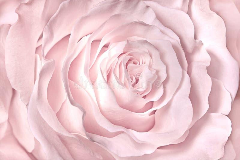 O rosa, rosa, aumentou foco macio do borrão do close-up fotos de stock royalty free